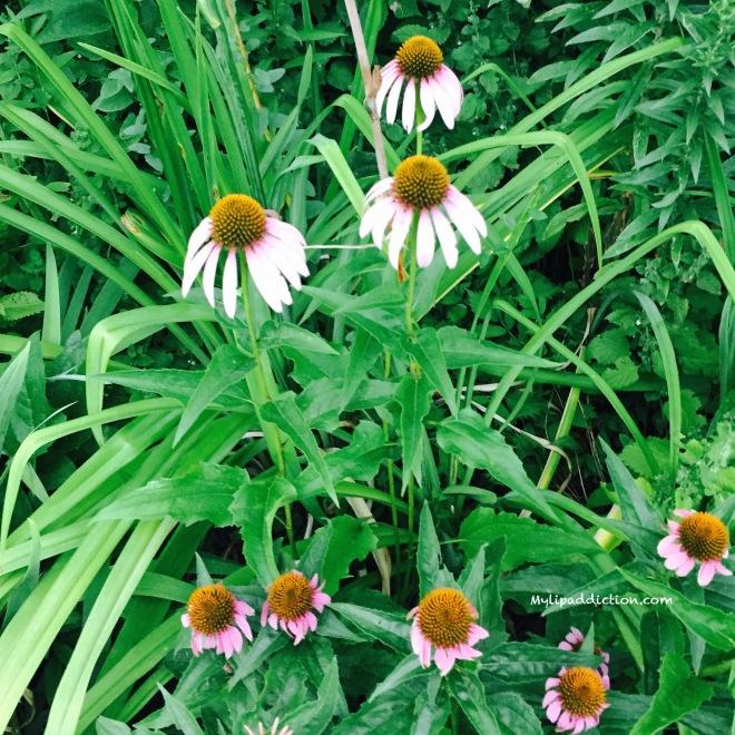 Echinacea MylipAddiction.com